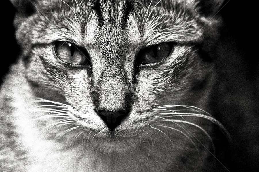 cat by Mohammed Arief - Animals - Cats Portraits