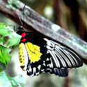 Golden Birdwing ♀