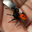 Ladybird spider (♂)
