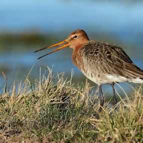 Black-tailed Godwit by Dalia Račkauskaitė - Animals Birds ( bird, nature, black-tailed godwit, limosa limosa )