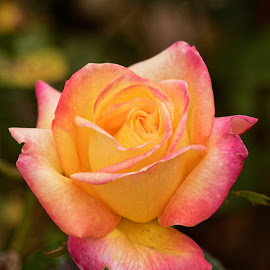 Rose 9994 by Raphael RaCcoon - Flowers Single Flower ( rose )