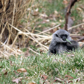 Javan Gibbon Baby by Chris Snyder - Animals Other Mammals ( javan gibbon, zoo, gibbon, baby animal, javan gibbon baby, gibbon baby, mammal, animal )