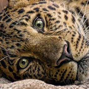 Rest by Cheri McEachin - Animals Other Mammals