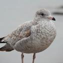Ring-billed Gull (1st Winter)