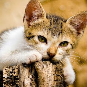 by Alex D.  Veriga - Animals - Cats Portraits ( veriga )