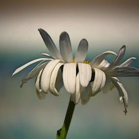Single Daisy by Bill Martin - Flowers Flower Gardens ( macro, nature, white, daisy, garden, flower,  )