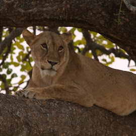 Lion in a Tree by Steve Randall - Animals Lions, Tigers & Big Cats ( tree, female, lion in a tree, africa, tanzania, tarangire national park, kwa kuchinia )