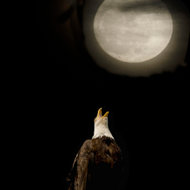 Eagle howling at the moon by Janet Gilmour-Baker - Digital Art Animals ( eagle and moon, animals, moon, eagle howling, eagle cawing, vancouver island, digital art, bald eagle, cawing )