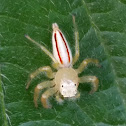 Two-striped Jumping Spider