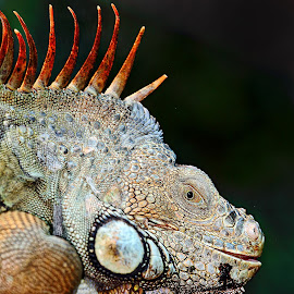 Iguana by Gérard CHATENET - Animals Reptiles