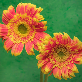 Double Gerbera by Jim Downey - Flowers Flower Buds ( orange, red, double, yellow, gerbera )