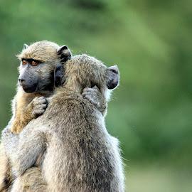 by Sandra Mcgowan - Animals Other ( monkeys, africa, kruger park )