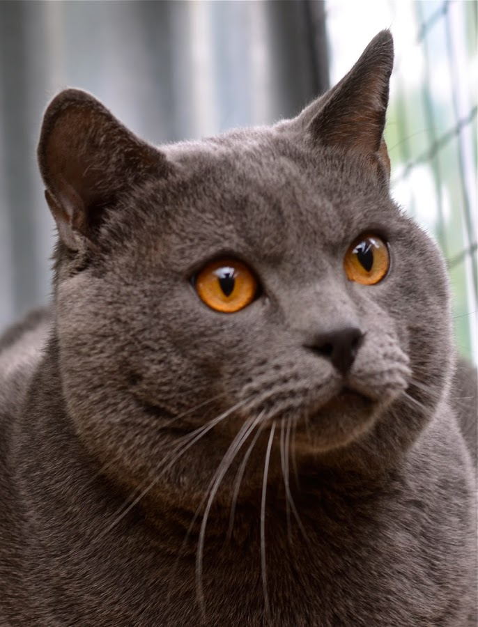 Hugo*** by Serge Ostrogradsky - Animals - Cats Portraits ( chartreux )