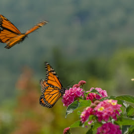 Magnificent Monarchs by Chris Cavallo - Animals Insects & Spiders ( fast shutter speed, orange, macro, pink, flowers, flying flowers bright, butterfly, wings, flying, black, monarch,  )