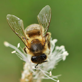 bussy bee by Pavel Vysoglad - Animals Insects & Spiders