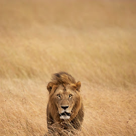 His Majesty, King of Savannah Wilderness by Raja PK - Uncategorized All Uncategorized ( masai mara, savannah, lion )