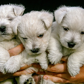 A Trio Of Westies by Barry Carter - Animals - Dogs Puppies ( animals, dogs, animals british, pets, puppy, west highland terrier, lulu, dog )