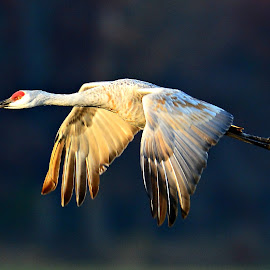 Sandhillcrane by Ruth Overmyer - Animals Birds