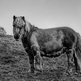 Shetland pony, Shetland. by Karine T. Knudsen - Animals Horses ( field, pony, hdr, black and white, black & white, horse, meadow, landscape, shetland pony, shetland )