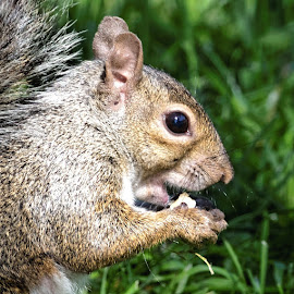 Squirrel 969 by Raphael RaCcoon - Animals Other Mammals