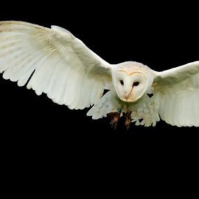 Barn Owl Attack by Mark Holm - Animals Birds ( bird, barn, barn owl, owl, captive )