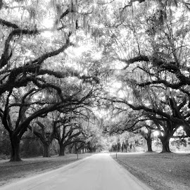 Moss Trees at Boone Hall Plantation by Kimberly Gibson - Black & White Landscapes ( black and white, driveway, trees, landscape photography, landscape, plantation )