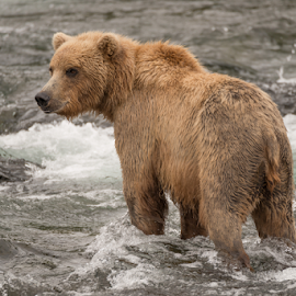 Brown bear standing in rapids facing left by Nick Dale - Animals Other Mammals ( water, grizzly, bear, animals, fish, waterfall, alaska, brooks falls, wildlife, brooks camp, katmai, brown bear, predator, falls, salmon, fishing, catching, grizzly bear, river )