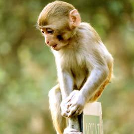 monkey by SANGEETA MENA  - Animals Other Mammals