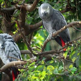 African Grey Parrots by Ingrid Anderson-Riley - Animals Birds
