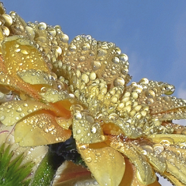 waterdrops on the gerber by LADOCKi Elvira - Nature Up Close Natural Waterdrops
