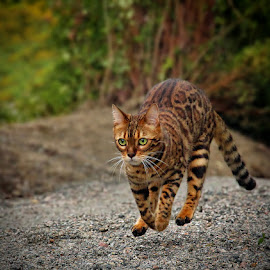 by Jane Bjerkli - Animals - Cats Portraits ( expression, playing, cat, bengal cat, pet, runing, portrait, norway, animal )