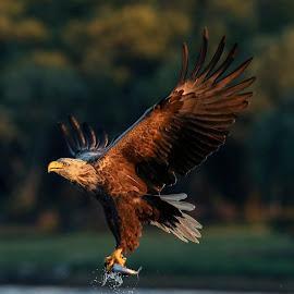 Sea eagle by Lillian Knutsen Aspås - Animals Birds ( flatanger, birds of prey, sea eagle, adult eagle, birds )