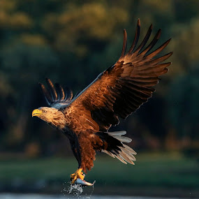 Sea eagle by Lillian Utstrand Gulliksen - Animals Birds ( flatanger, birds of prey, sea eagle, adult eagle, birds )