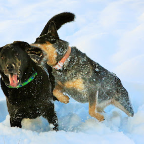 Sneak Attack by Todd Ratisseau - Animals - Dogs Playing ( dogs, snow, blue heeler, black lab, playing in snow )