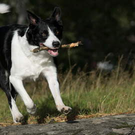 Run by Marko Paakkanen - Animals - Dogs Playing ( playing, border collie, run, dog, animal )