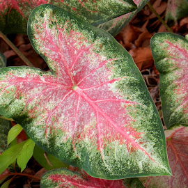 Pink & Green Elephant Ear Leaf by Kathy Rose Willis - Nature Up Close Leaves & Grasses ( green, pink, elephant ear, leaf, multicolored,  )