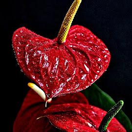 Red by Pieter J de Villiers - Flowers Single Flower