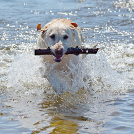 Got it by Steven Liffmann - Animals - Dogs Playing ( water, stick, ocean, dog, lab )
