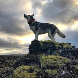 Ronja by Bjarklind Þór - Animals - Dogs Portraits ( lavafield )