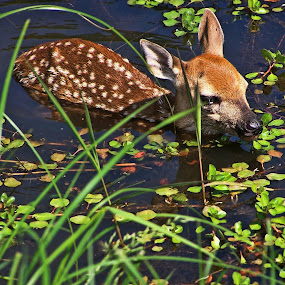 Oh Deer by Christy Leigh - Animals Other ( reindeer, animals, green, creek, fawn, deer )