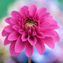 Red open Dahlia by Jim Downey - Flowers Single Flower ( red, magenta, green, white, blue )