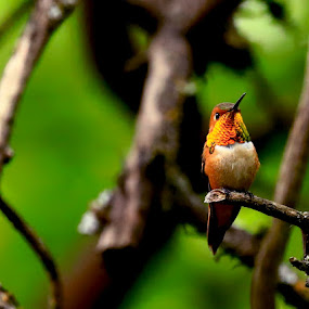 Rufous by Todd Ratisseau - Animals Birds ( rufous, hummingbird, colorful )