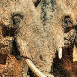 Tusks and Trunks by DB Channer - Animals Other Mammals