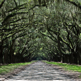 Avenue of Oaks by Steve Wilking - City,  Street & Park  Vistas ( Tree, Nature, Sky, , relax, tranquil, relaxing, tranquility )
