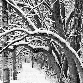 Snowy Osage Orange Tunnel at Sugarcreek by Josh Mayes - Landscapes Weather ( orange, park, snowy, sugarcreek, metroparks, winter, osage, trail, path, trees, five rivers, footsteps, tunnel )