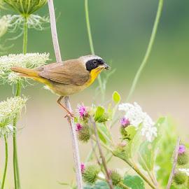 Common Yellowthroat by Karen Brown - Animals Birds ( plant, common yellowthroat, prairie, grasshopper, bird, nature, depth of field, composition, meadow, summer, songbird, flowers, warbler )