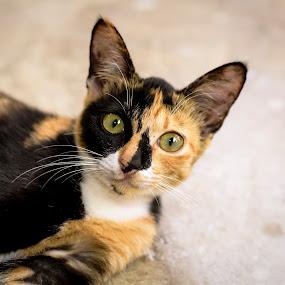 by Zamri Ahmad - Animals - Cats Portraits