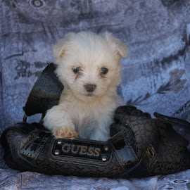 Puppy by Lize Hill - Animals - Dogs Puppies