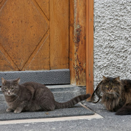 Cats by Serguei Ouklonski - Animals - Cats Portraits ( home, cat, old, wood, peak, no person, street, door, st gallen, house, travel, cute, graubünden, rustic, looking, sky, nature, tree, seat, switzerland, fur, grey, hair, animal, eye, pavement, building, curiosity, funny, scenic, young, domestic, mammal, stripe, sit, two, wooden, season, window )