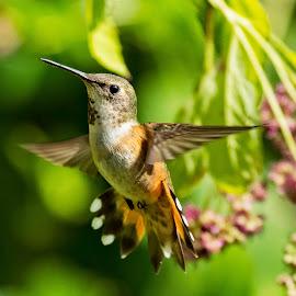 Rufous Hummingbird by Sheldon Bilsker - Animals Birds ( bird, hummingbird )